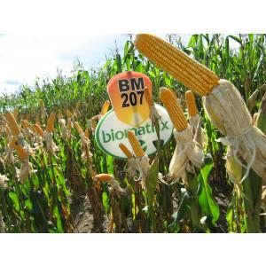 Sementes de Milho BM207 - Embalagem 20 kg - Grãos e Silagem - Safra Verão 2016