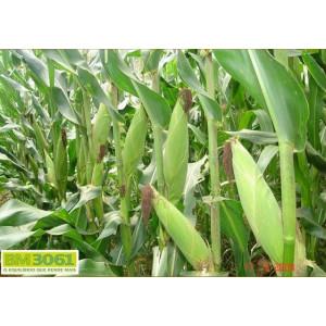Sementes de Milho BM3061 - 60 mil sementes - Milho Verde e Silagem - Safra Verão 2016