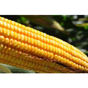 Sementes de Milho BM3063PRO2 - 60 mil sementes - Grãos e Silagem - Safra Verão 2016