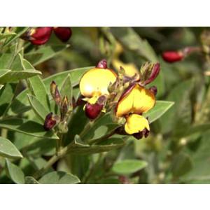 Sementes de Feijão GUANDU cv. FAVA LARGA - Embalagem de 25 Kg - Sob Consulta