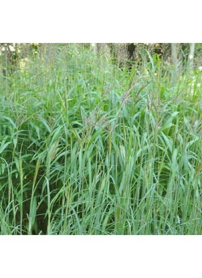 Sementes de ANDROPOGON gayanus cv. planaltina VC 16% - Embalagem de 08 kg