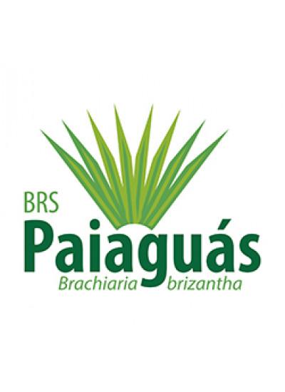 Sementes Brachiaria brizantha cv. BRS PAIAGUÁS Revestidas - 10 Kg - Preço p/kg R$ 40,65