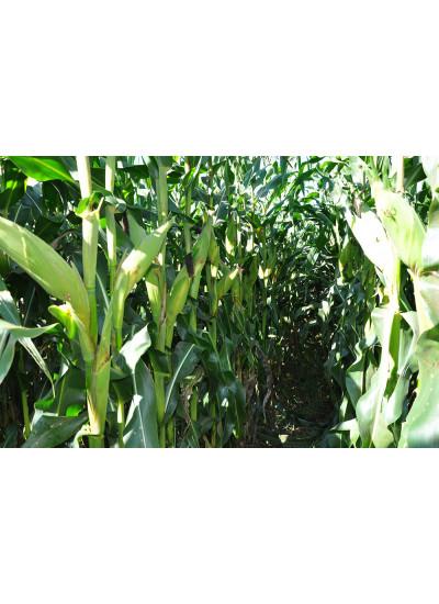 Sementes de Milho BM3066PRO2 - 60 m.s. - Grão, Silagem e Milho Verde - Tratamento com PONCHO
