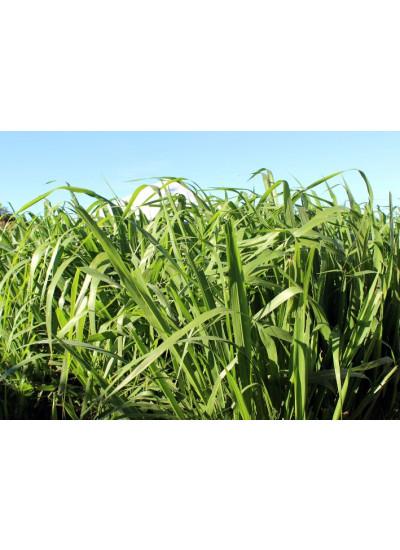 Sementes Panicum maximum cv. BRS TAMANI Revestidas - 10 kg - Preço p/ kg R$ 18,57