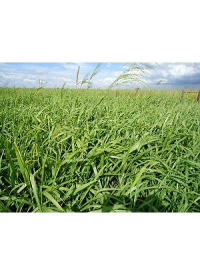 Sementes Panicum maximum cv. BRS ZURI Peletizadas - 10 Kg - Preço p/ kg R$ 14,20