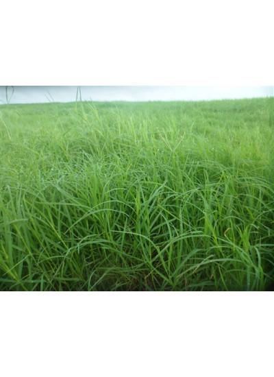 Sementes de CAPIM VAQUERO Tropical Incrustadas - 5 kg - Preço p/ kg R$ 42,65