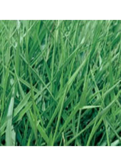 Sementes de Brachiaria.humidicola cv. LLANERO (Dictyoneura) Revestidas - 12 kg - A PRONTA ENTREGA - Preço p/ kg 36,20