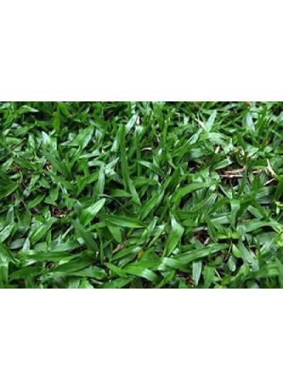 Sementes de GRAMA SÃO CARLOS - 7 g / m2 - Lata com 100 g