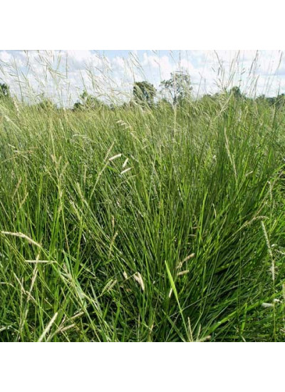 Sementes Brachiaria humidícola cv.HUMIDICOLA Peletizada - 10 Kg -  Preço p/ kg R$ 39,50