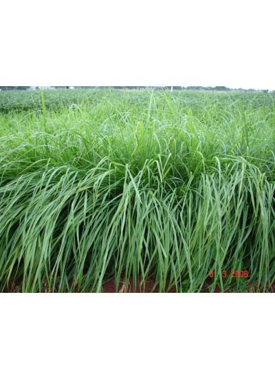 Sementes Panicum maximum cv. MASSAI Revestidas -  12Kg -  ENTREGA FUTURA - Preço p/ kg 12,68