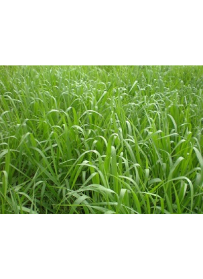 Sementes de Brachiaria DECUMBENS (BRACHIARINHA) Incrustadas - 12 kg - Preço p/ kg R$ 12,47