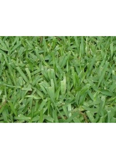 Sementes de GRAMA BATATAIS Revestidas - 15 a 20 g / m2 - Embalagem 05 Kg