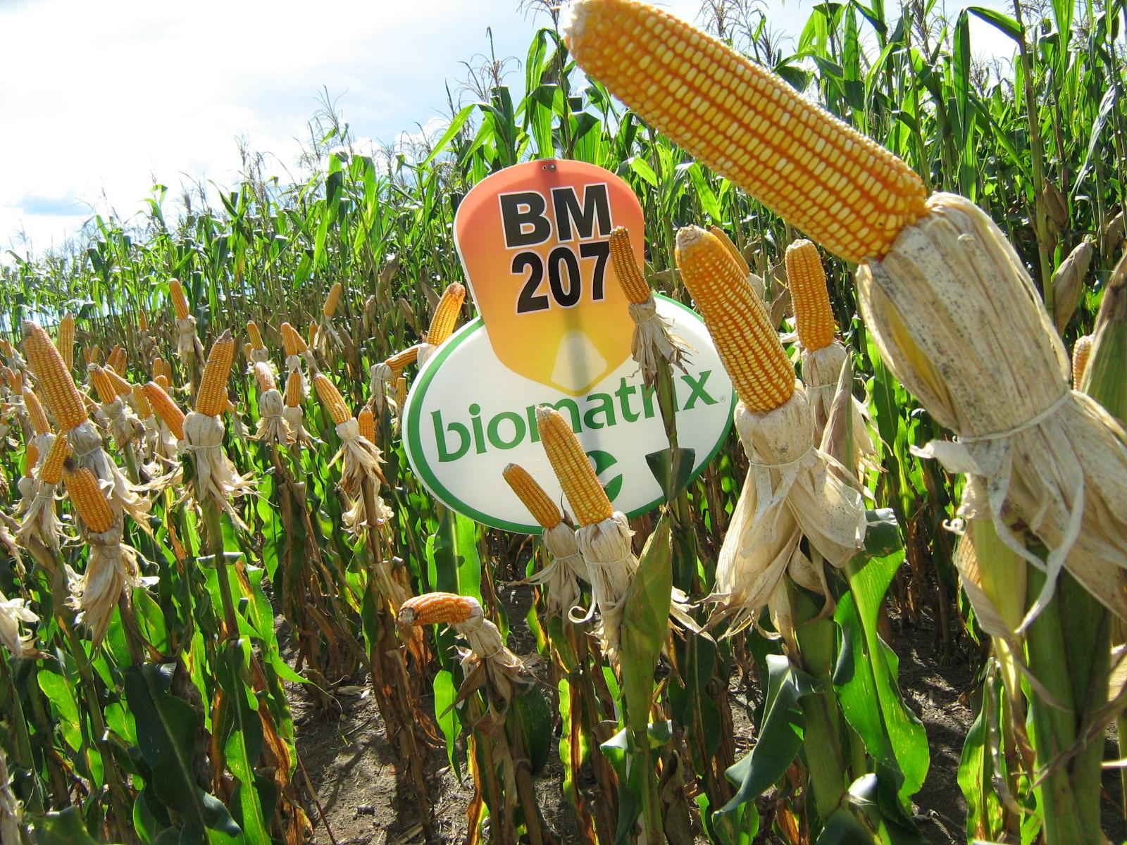 Sementes de Milho BM207 - Embalagem 20 kg - Grão/Silagem