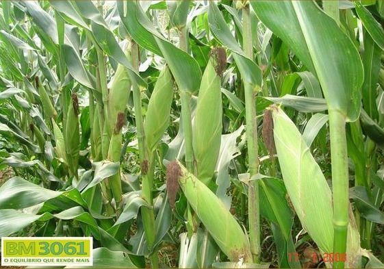 Sementes de Milho BM3061 - 60 mil sementes - Milho Verde e Silagem