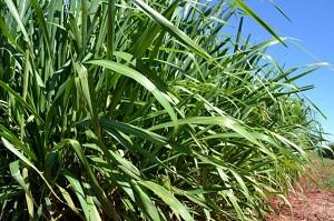 Sementes Panicum maximum cv. Mombaça Incrustadas - 10 Kg