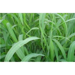 Sementes Panicum maximum cv. Aruanã Incrustadas - 10 Kg