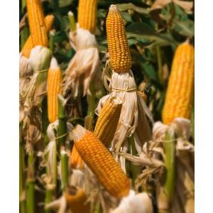 Sementes de Milho AL Bandeirante (variedade) - Embalagem 20 kg  - Grãos e Silagem