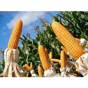 Sementes de Milho Transgênico BM780PRO - 60 mil sementes - Grão