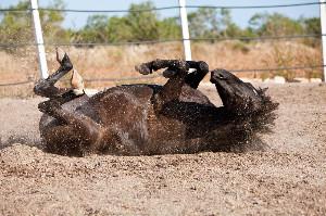 Cavalo Colica
