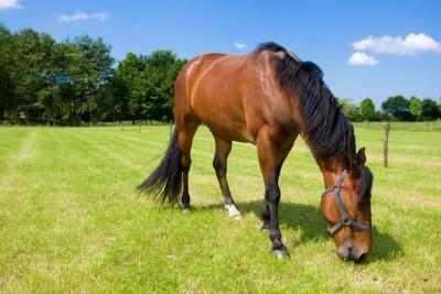 Criação Cavalos Pasto
